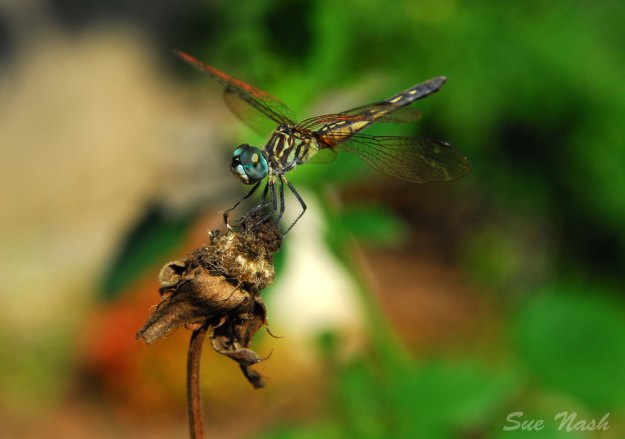 My dragonfly friend that loves to pose